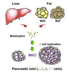 More Beta Cells, More Insulin, Less Diabetes: Betatrophin, a Hormone that Controls Beta Cell Proliferation