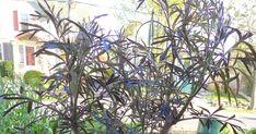 Pruning Black Lace Elderberries Black Lace Elderberry, Elderberry Shrub, Shrubs, Landscaping, Gardens, Fruit, Kitchen, Plants, Cooking