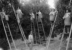 Florida orange pickers in a grove, 1910