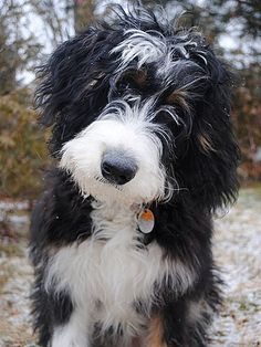 Oh my good gawd! Poodle mixed with Bernese Mountain dog or something of that ilk. I think I need one!