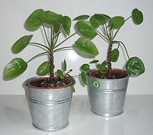 Pilea peperomioides  - i want One!!!!!!