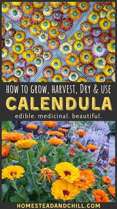 Come learn how to grow, harvest, dry, and use calendula. A beautiful addition to any garden, it is also edible and has many healing medicinal qualities! Edible Plants, Edible Flowers, Dry Flowers, Flowers Garden, Easy To Grow Flowers, Planting Flowers, Calendula, Gardening For Beginners, Gardening Tips