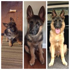 "8 Weeks -> 12 Weeks -> 6 Months | Titan is growing fast!...Follow Dog All Over's board ""German Shepherd"" on Pinterest. | See more ideas about German shepherd #dogs #German #shepherd #puppies and be a best lover of German shepherds."