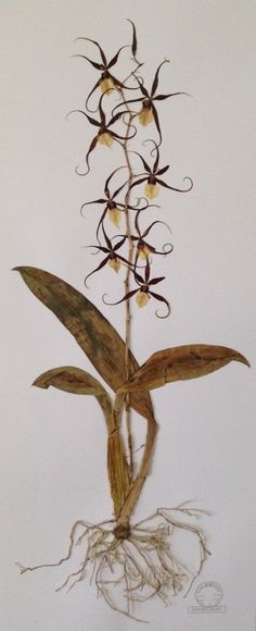Orchid herbarium
