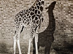 Giraffe, London Zoo  Photograph by Faisal Almalki, My Shot    This Month in Photo of the Day: Animals    A giraffe casts a shadow against a wall at the London Zoo.