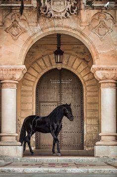 Marwari Horses, Andalusian Horse, Friesian Horse, Arabian Horses, Black Horses, Wild Horses, All The Pretty Horses, Beautiful Horses, Animals And Pets