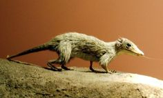 Megazostrodon reconstruction - a small mammaliaform which represents very well the transition from cynodonts to modern mammals. Image by Udo Schröter. Synapsids: Before dinosaurs ruled the Earth Nocturnal Animals, Extinct Animals, List Of Animals, Like Animals, Primates, Mammals, Largest Dinosaur, Prehistoric Creatures, Vertebrates