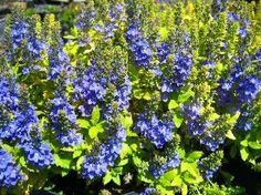 Royal blue flowers on golden-leaved mounds. Herbaceous Border, Royal Blue Flowers, Alpine Plants, Plants, Yellow Leaves, Flowers, Dry Garden, Rock Garden, Blue Flowers