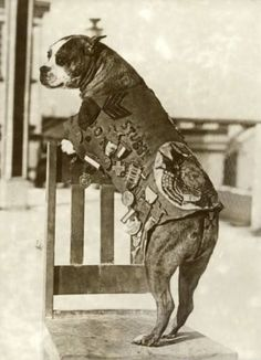 Omg. Srgt. Stubby! This pitty actually earned all those awards through service in the forces.
