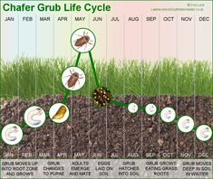 The chafer beetle life cycle is typical of the other beetles. Eggs are laid, these turn into larvae which then pupate and turn into adult beetles and fly.
