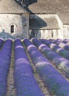 Senanque Abbey and Lavender field - Provence, France by Matteo Colombo