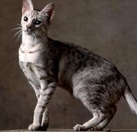 Ocicat -- description and characteristics of.
