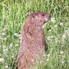 How to Get Rid of Groundhogs Naturally How to get To get and