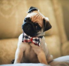 Pug in a tie
