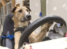 We hope everyone had a good weekend?     Well as its Monday, here's something to put a smile on your face - Rescue Dogs Taught How To Drive A Car