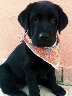 Cute Puppies with Black Labrador with a handkerchief around their neck. #labrador #dog #puppy #cute #barkinglaughs #labradorretriever