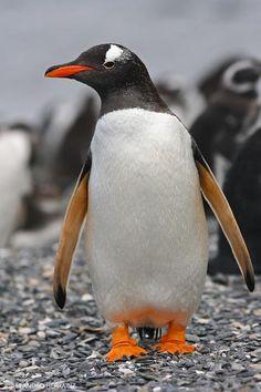 Gentoo Penguin, Tierra del Fuego Province, Argentina by Leandro Herrainz