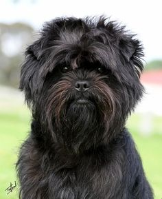 affenpinscher puppies | Posted by jeshithekkummadathil at 04:38
