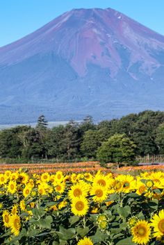 https://flic.kr/p/wMqZLw | Fuji and Sunflower | 山中湖 花の都公園