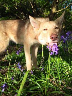 Rogue - Saarloos Wolfhond