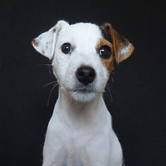"""1,628 Likes, 66 Comments -  Follow my adventures  (@faith.the.jack.russell) on Instagram: """"Throwback Thursday when I was exactly 3 months old and my first headshot."""""""