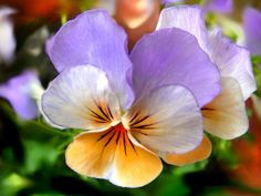 Yesterday was Earth Day and to celebrate we planted pansies everywhere. I have a special appreciation for pansies. Love Flowers, My Flower, Flower Power, Beautiful Flowers, Winter Pansies, Spring Flowers, Flower Images Free, Flower Photos, Belleza Natural