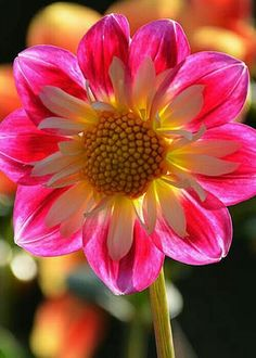 Dahlia by Frank Larkin flowers All Flowers, Flowers Nature, Exotic Flowers, Amazing Flowers, Beautiful Flowers, Nature Tree, Flowers Gif, Flowers Online, Colorful Flowers