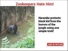 Tag your friends who adore the beloved Harambe  #harambe #zoo #pokemongo…