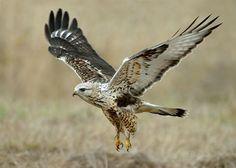 Rough-legged Hawk Audubon Society of Portland's photo.