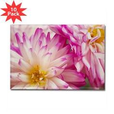 Two White And Pink Dahlias Rectangle Magnet (10 pa Magnets, Buttons, Keychains Daphsams Amazing Flowers #dahlias #photography #magnet #cafepress $20.99 for a pack of 10