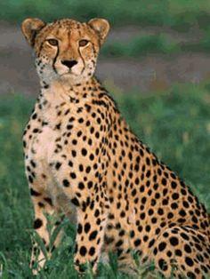 Pet a cheetah