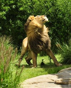 A fabulous posing lion