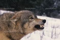 Gray wolf (Canis lupus) in winter Wolf Life, Wolf Stuff, Wild Wolf, Brown Bear, Animals Beautiful, Royalty Free Images, Stock Photos, Gray Wolf, Crossword