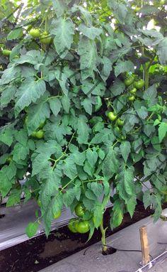 Sistem Fertigasi untuk tanaman Tomat