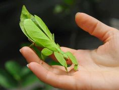 Biologia-Vida: Perfect camouflage: True Leaf bug (Phyllium sp.)