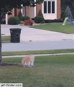 Fat Cat running from owner | Gif Finder – Find and Share funny animated gifs