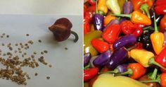 Cómo conseguir semillas de pimiento para nuestro huerto