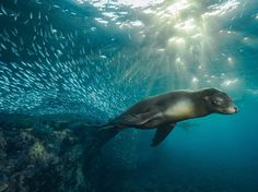 A sleek and content-looking California sea lion swims among a school of fish in the turquoise waters around Los Islotes, a small island off the coast of Baja California, Mexico. [Photo by Mario Chow]