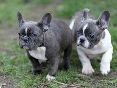 Available: Shadow (blue boy) French Bulldog Puppies email: vanillabulldogs@gmail.com