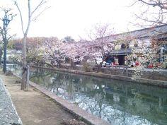 桜と倉敷美観地区