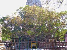 Bodhgaya 3639641913 f4c5f73689 t - Bodhi Tree - Wikipedia, the free encyclopedia