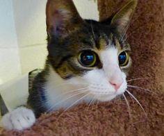C-66280 Shania ~ I hope she finds her home soon <3 <3 <3 <3  beautiful, sweet kitty!!!!