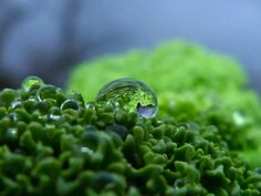 Green cabbage with a droplet - by Bikertom - on Flickr