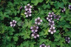 Geranium 'Salomé' Goed te gebruiken als bodembedekker of als borderplant. Deze vaste planten niet verwarren met de kamer- of balkongeraniums.   Grondsoort: elke redelijke humusrijke grond  Vermeerdering: door deling of uit zaad.  Advies: na de bloei knippen voor mooie hergroei.   Meer productinformatie: Borderplant Bodembedekker Wintergroen/ bladhoudend Kleur:Blauw/Paars Bloeitijd: juli t/m oktober Hoogte:60cm Zon, halfschaduw, schaduw:Zon / Halfschaduw