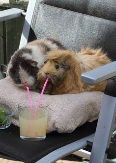 Guinea pig drinking makes me smile every time! Prep Exec