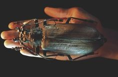 Asian Giant Hornet Queen | Top Five Facts: Giant Bugs | How It Works Magazine