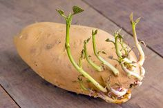 Growing a potato is fun, since you can practically watch it grow before your eyes. You can grow a sweet potato, a white potato or start both at the same time to learn the differences. Sprouting Sweet Potatoes, Growing Sweet Potatoes, Planting Potatoes, Grow Potatoes, Irish Potatoes, White Potatoes, Container Vegetables, Root Vegetables, Potato Gardening
