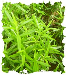 Use rosemary on a continuing basis for a healthy scalp that encourages healthy hair growth and slows hair loss.