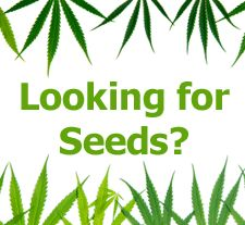 Buy Cannabis Seeds Today at Nirvana Shop! https://www.nirvanashop.com/nl/
