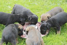 Koiranpennun tulee saada viikon sisällä vähintään kolmea eri eläintä lihoina ja luina.